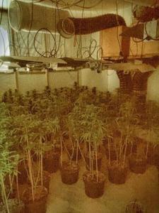 37-ki-alexandra-drive-cannabis_jpg-pwrt3